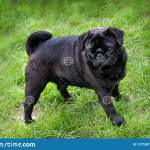 Black Pug Puppy Walking On The Grass In Summer Time Stock Image Image Of Breed Face 137758713