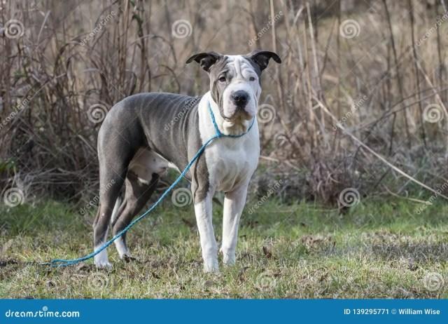 blue and white sharpei american bulldog mixed breed dog