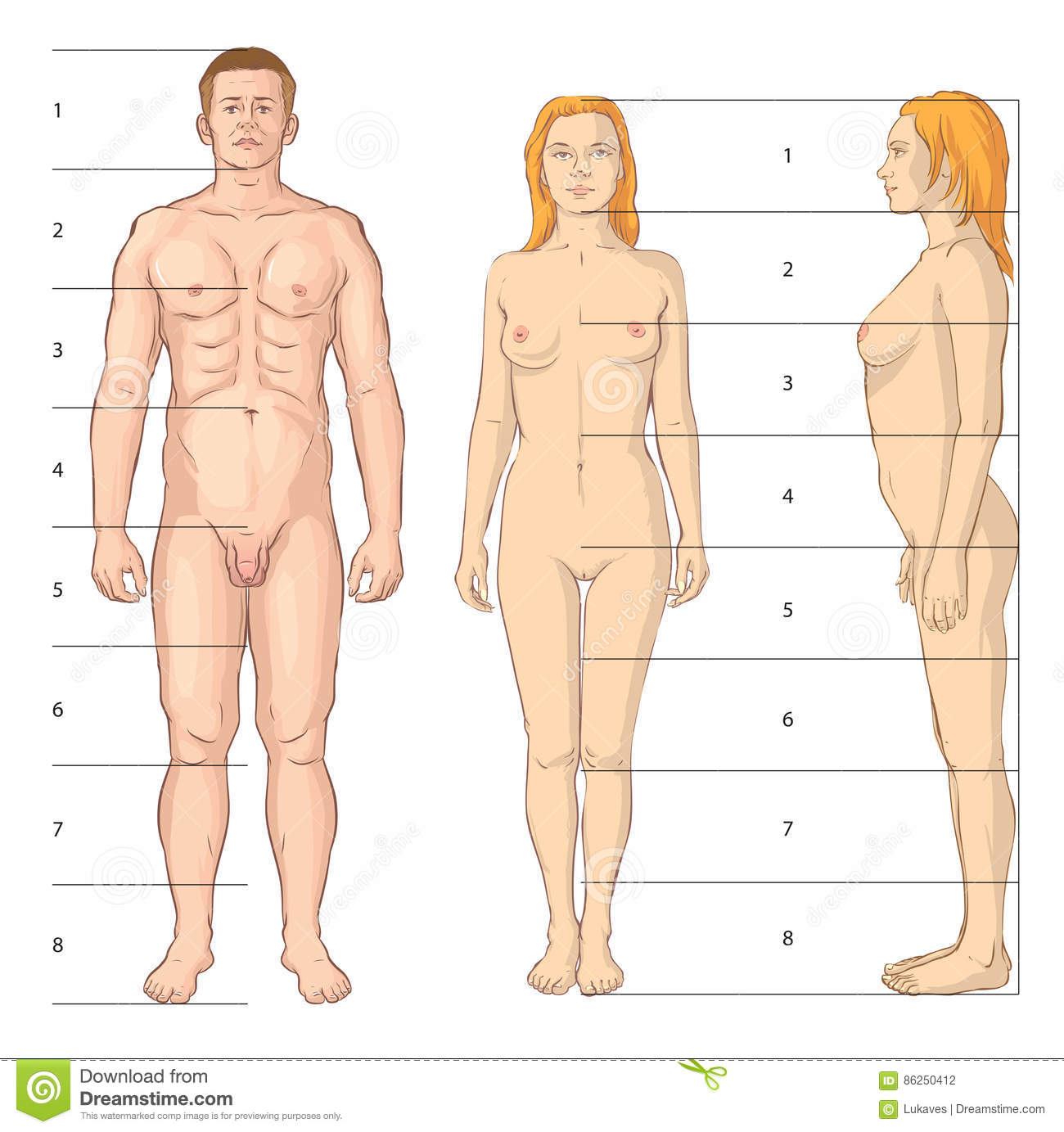 Body Proportions Stock Vector Illustration Of Measurement