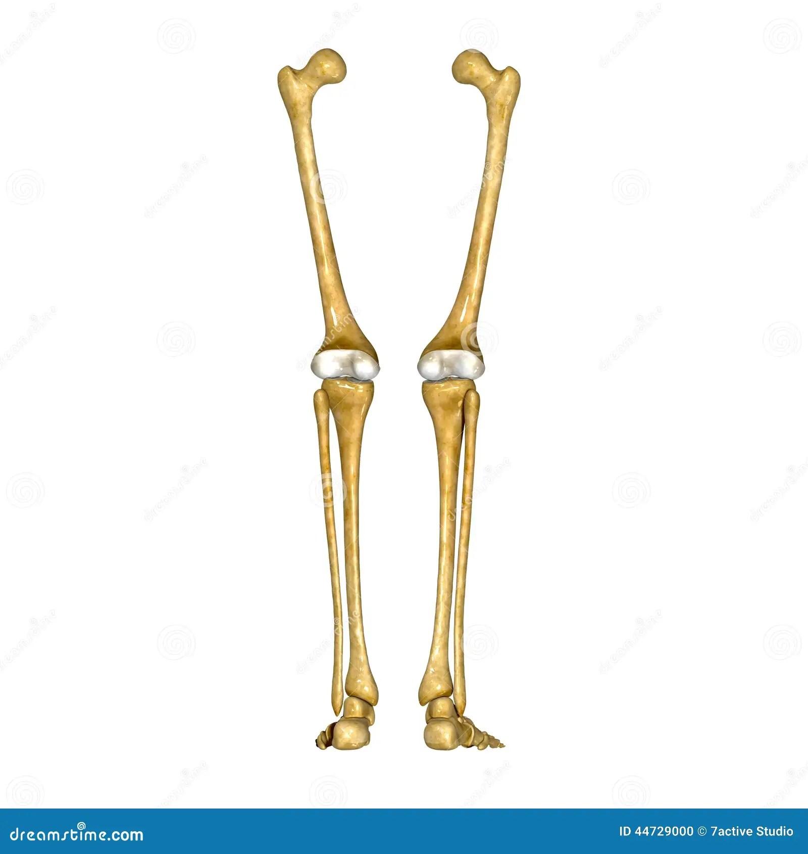 Bones Of Leg And Foot Stock Photo