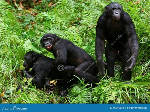 Bonobo love 2 xxx stock photo Image of black monkey