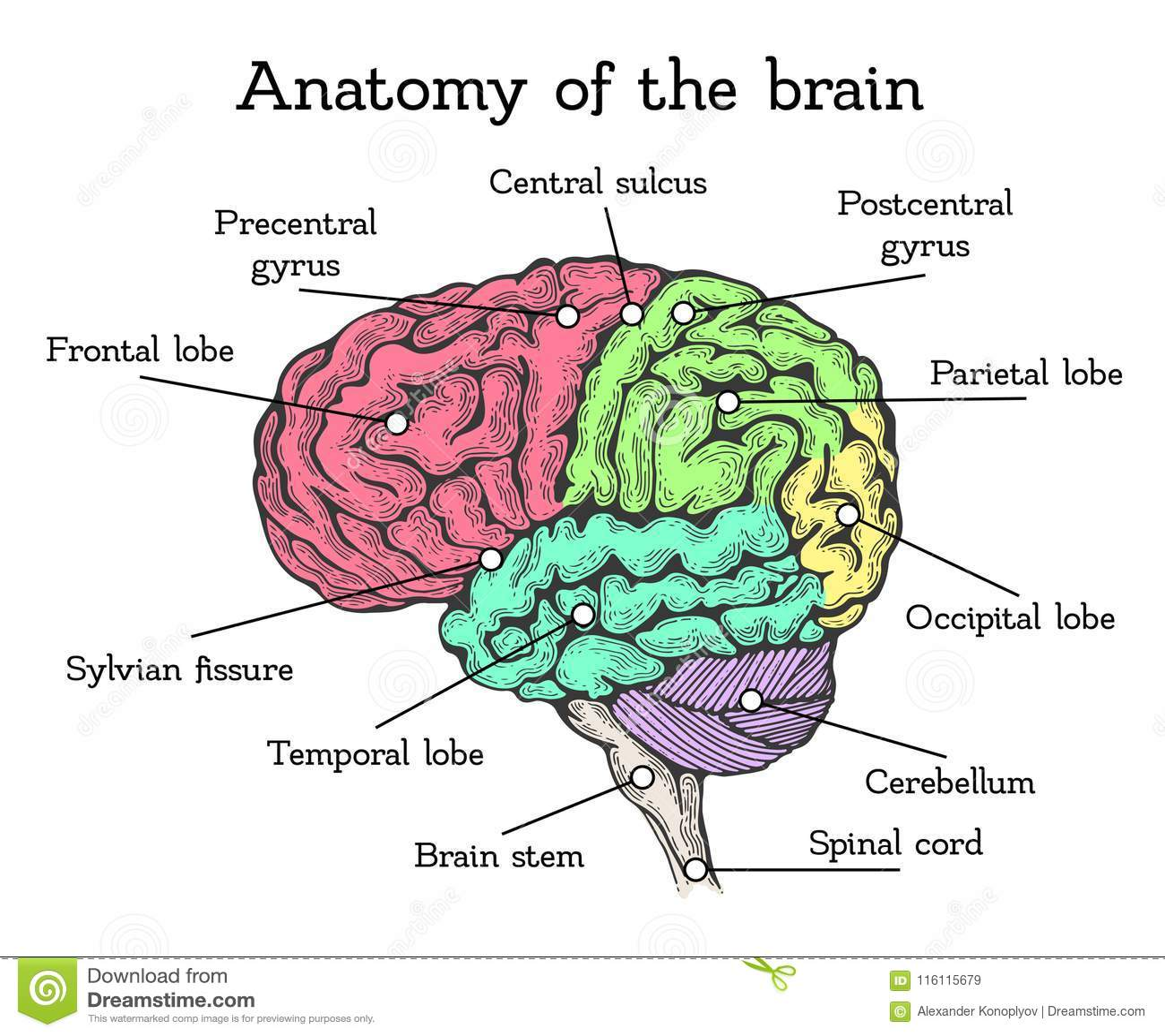 Brain Anatomy Color Scheme Stock Vector Illustration Of