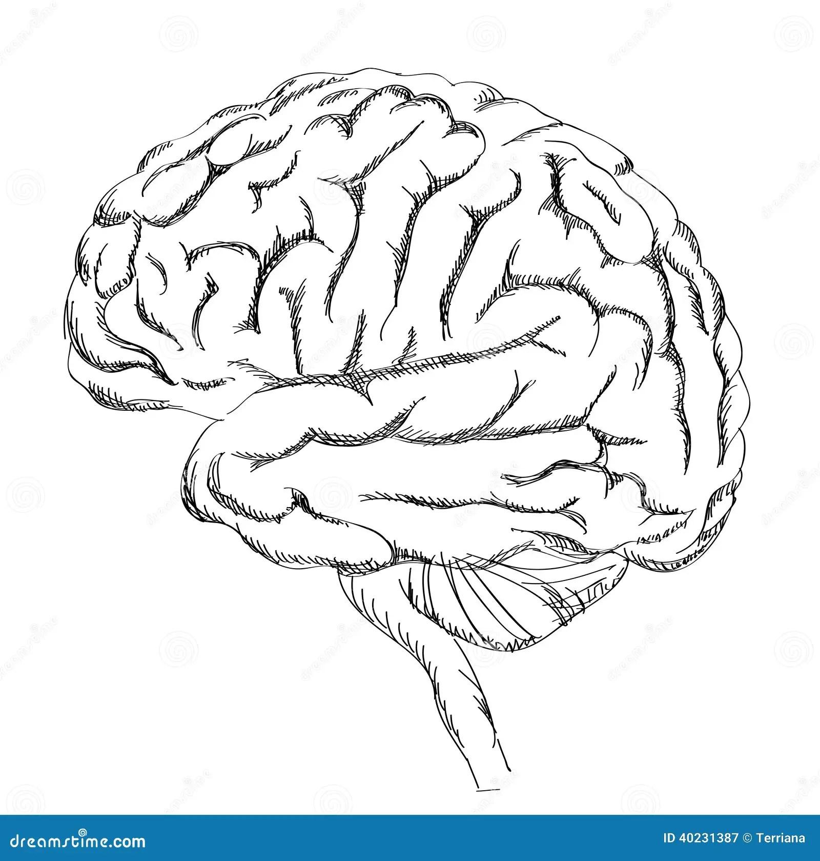 Brain Anatomy Stock Vector Illustration Of Medicine