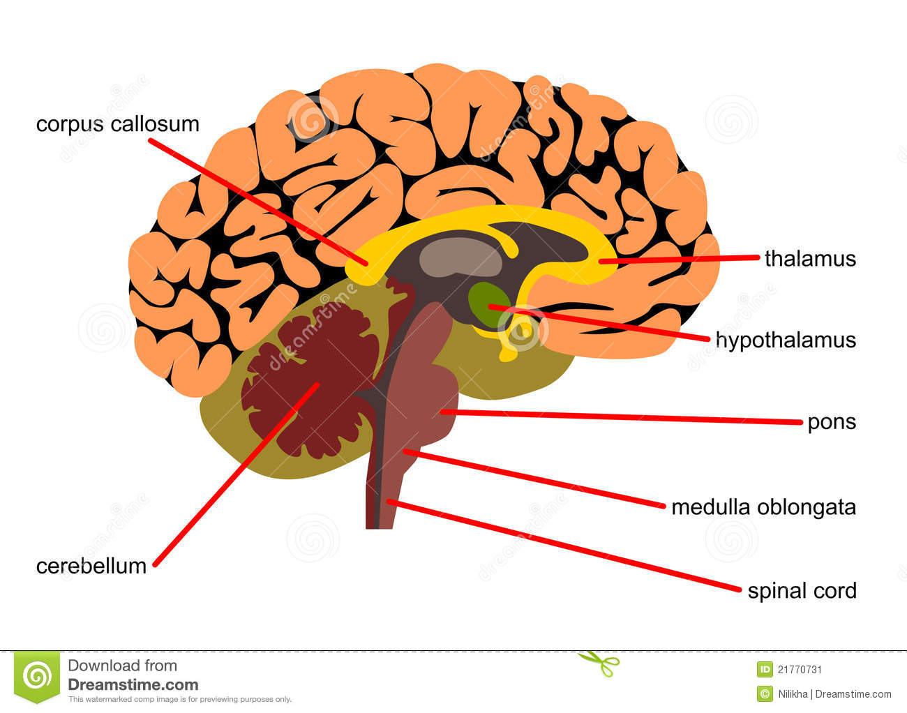 Brain Parts In Side View Stock Illustration Illustration Of Human