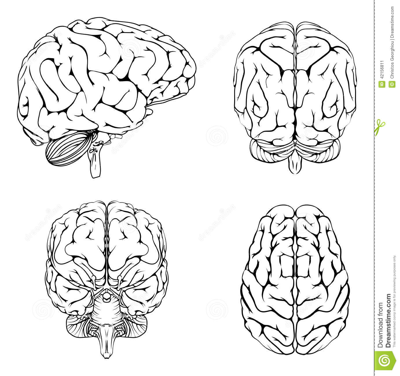 Brain From Top Side Front And Back Stock Vector