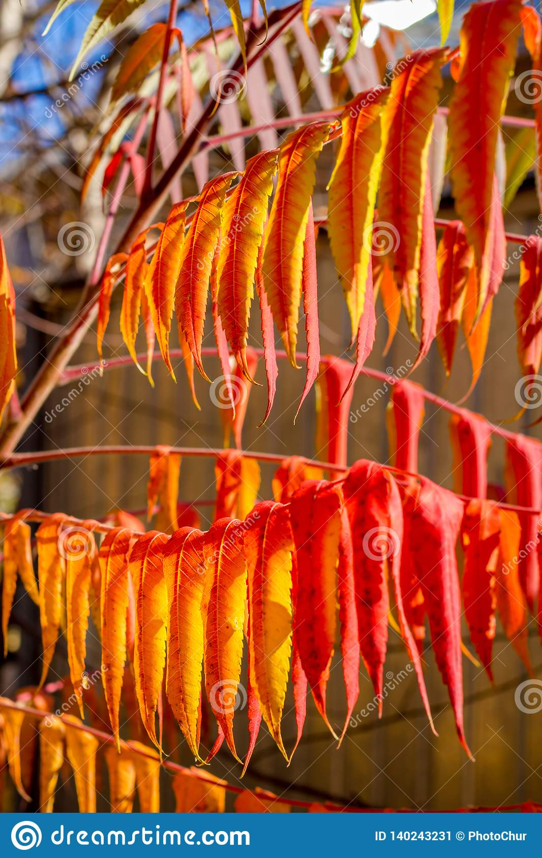 Bright Red Yellow Leaves Close Stock Image