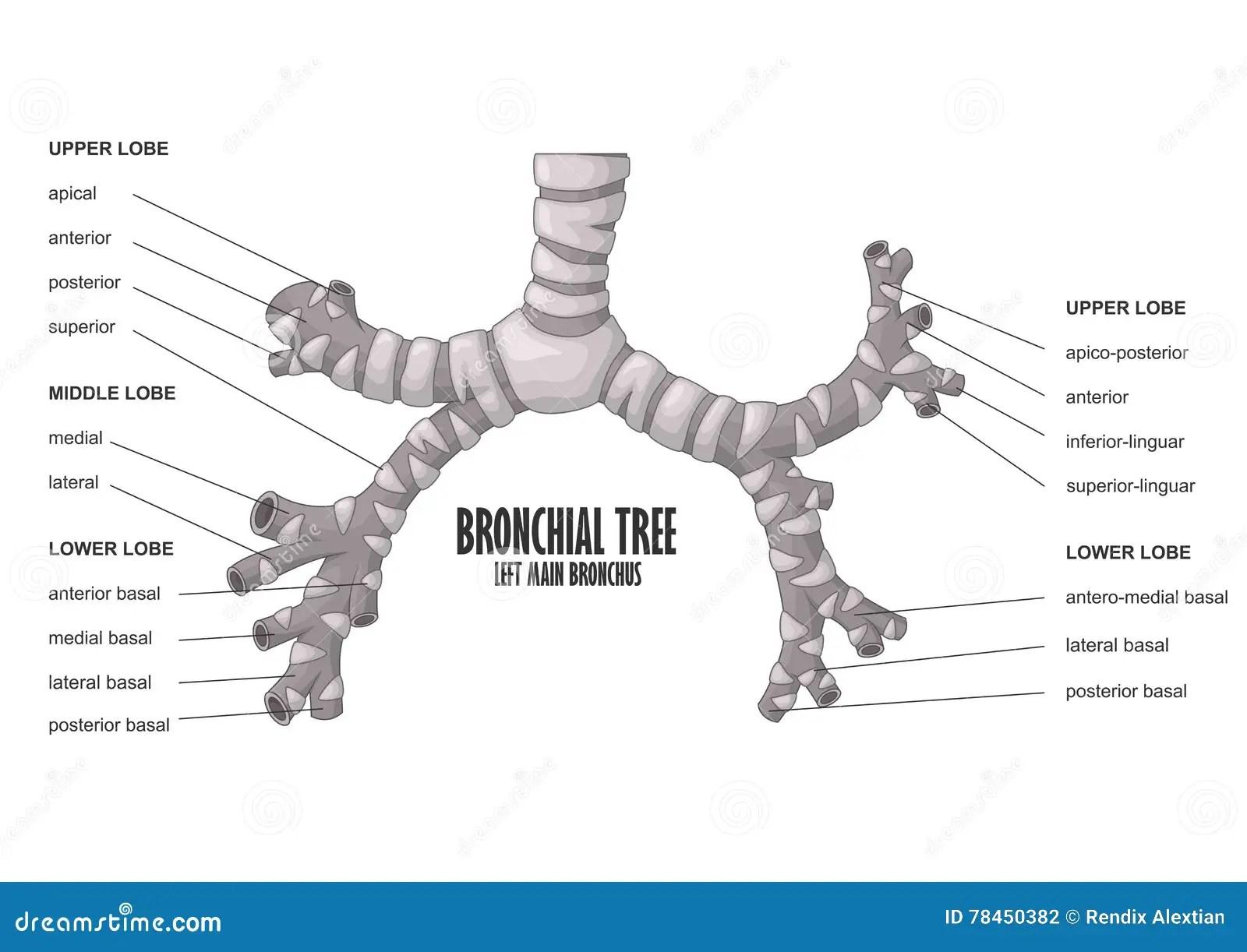 Bronchial Tree Left Main Bronchus Human Anatomy Stock