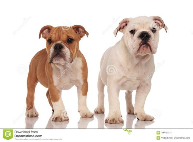 brown and white english bulldog puppies stock image - image