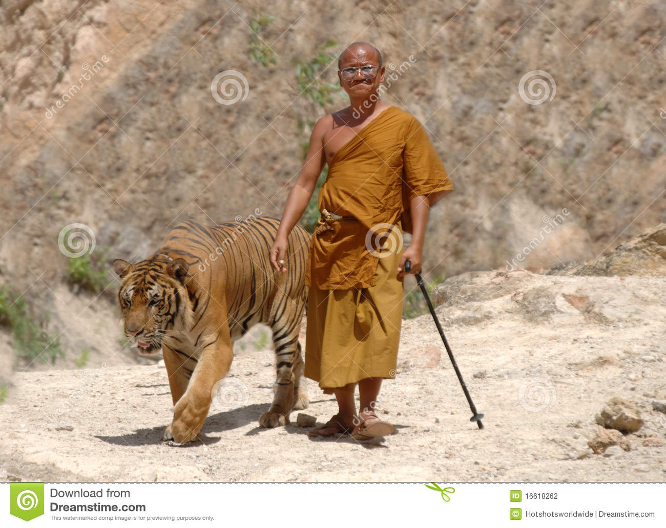 Buddhist Monk Walking With Bengal Tigerthailand Editorial
