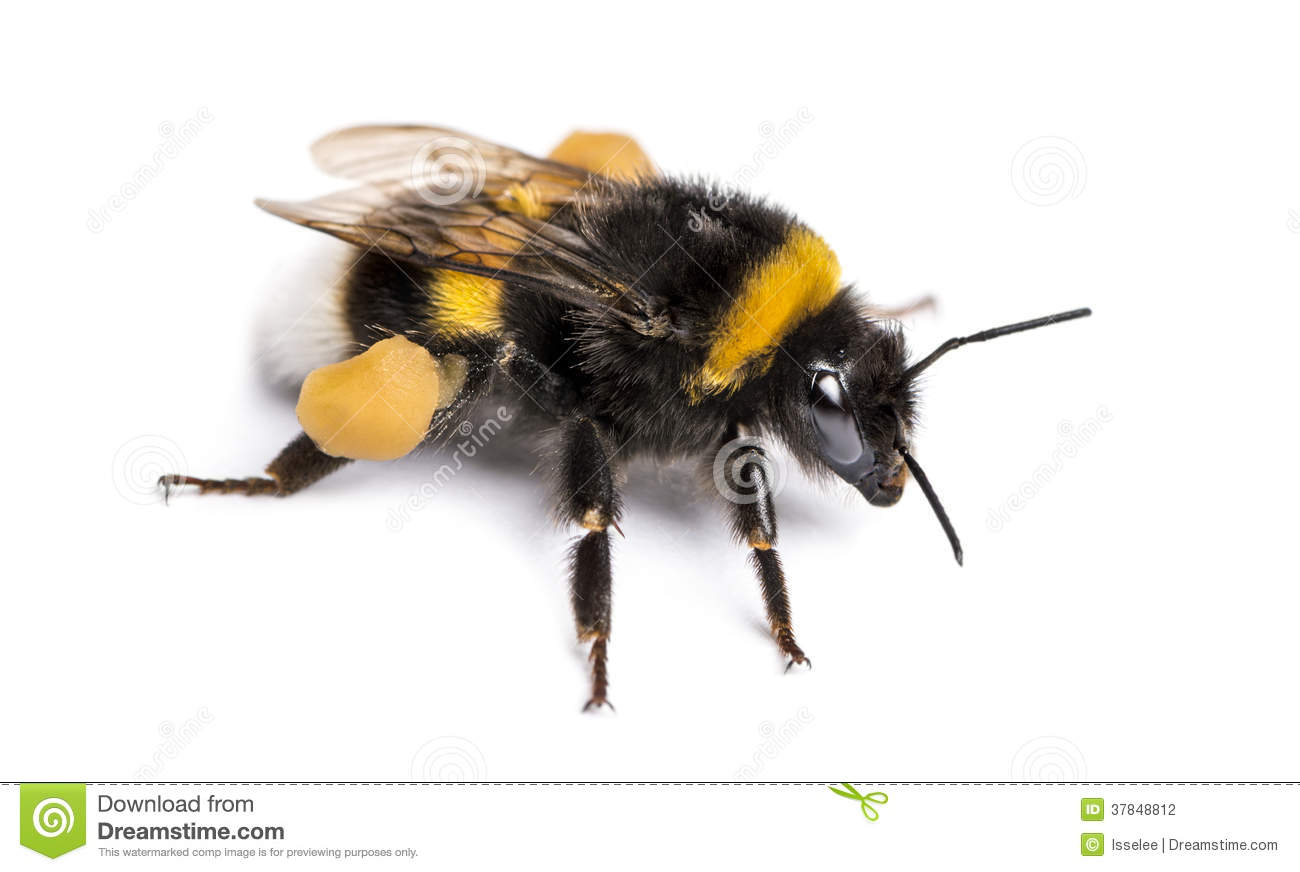 Buff Tailed Bumblebeeus Terrestris Isolated Stock