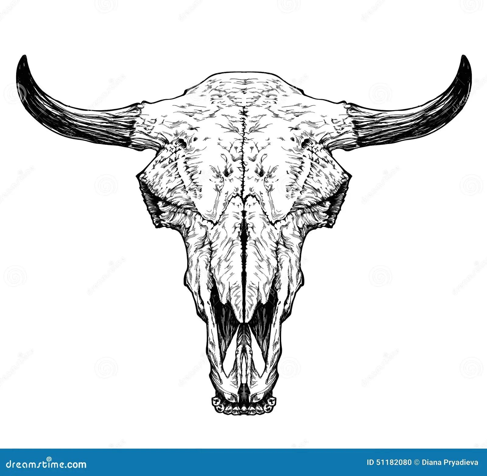 Bull Auroch Skull With Horns On White Background Stock