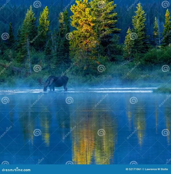 Bull Moose Feeding In Lake Stock Photo - Image: 52171061
