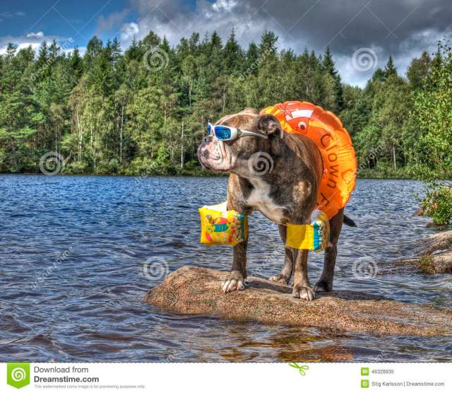 bulldog in lake with floaties on in hdr stock image - image of