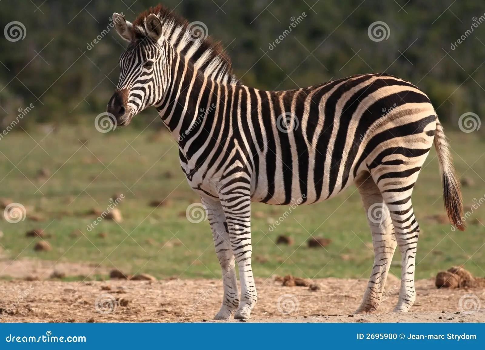 Burchells Zebra Stock Photo Image 2695900