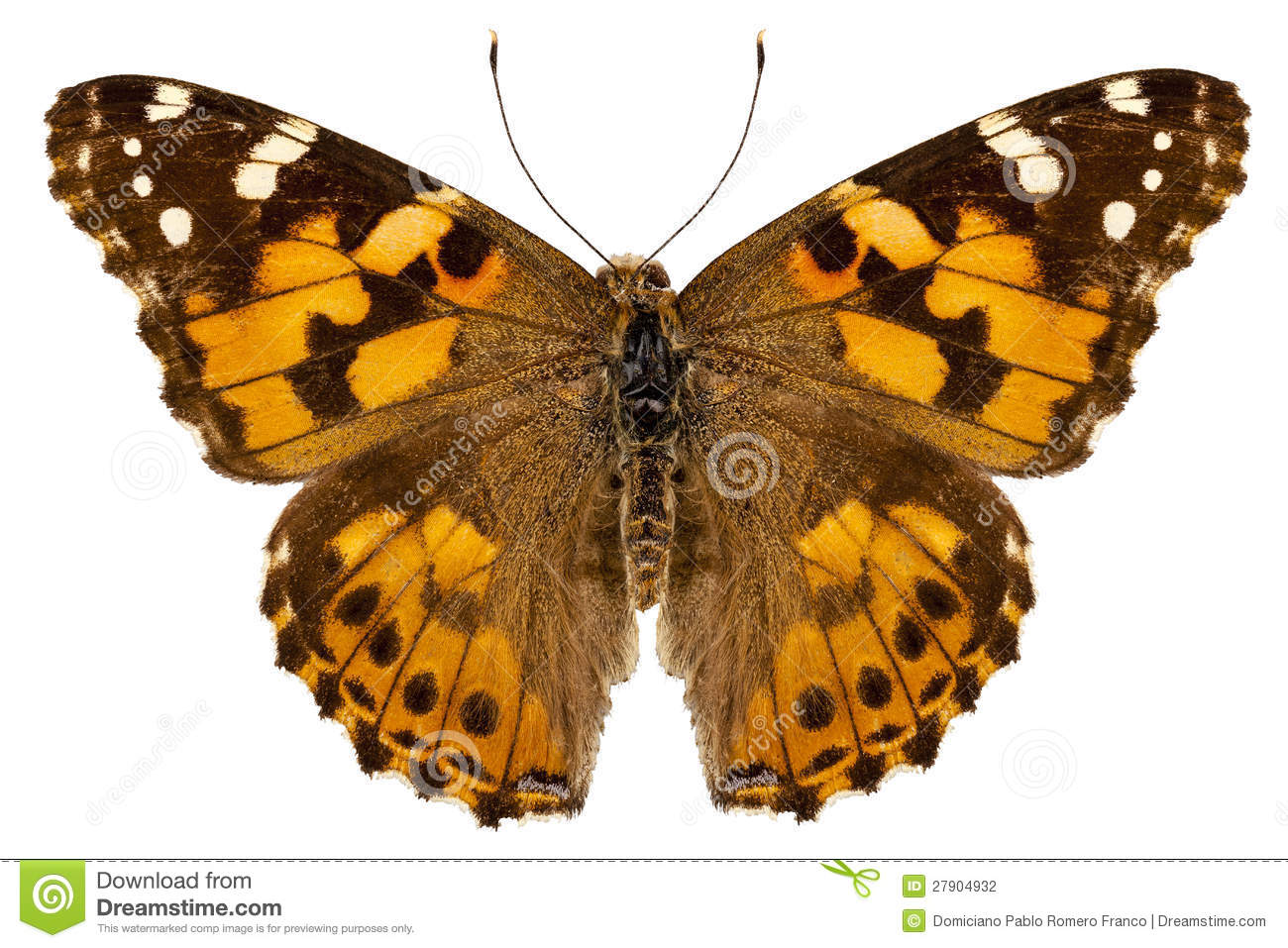 Butterfly Species Vanessa Cardui Stock Photo