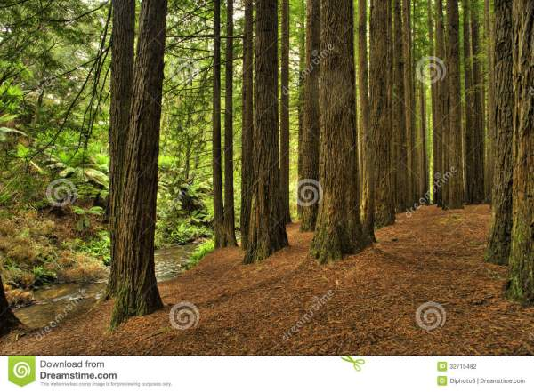 Californian Redwood Forest stock photo. Image of flora ...