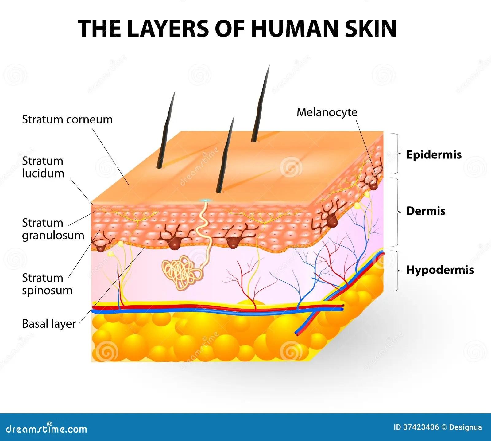 Camadas De Pele Humana Melanocyte E Melanina Ilustracao Do Vetor