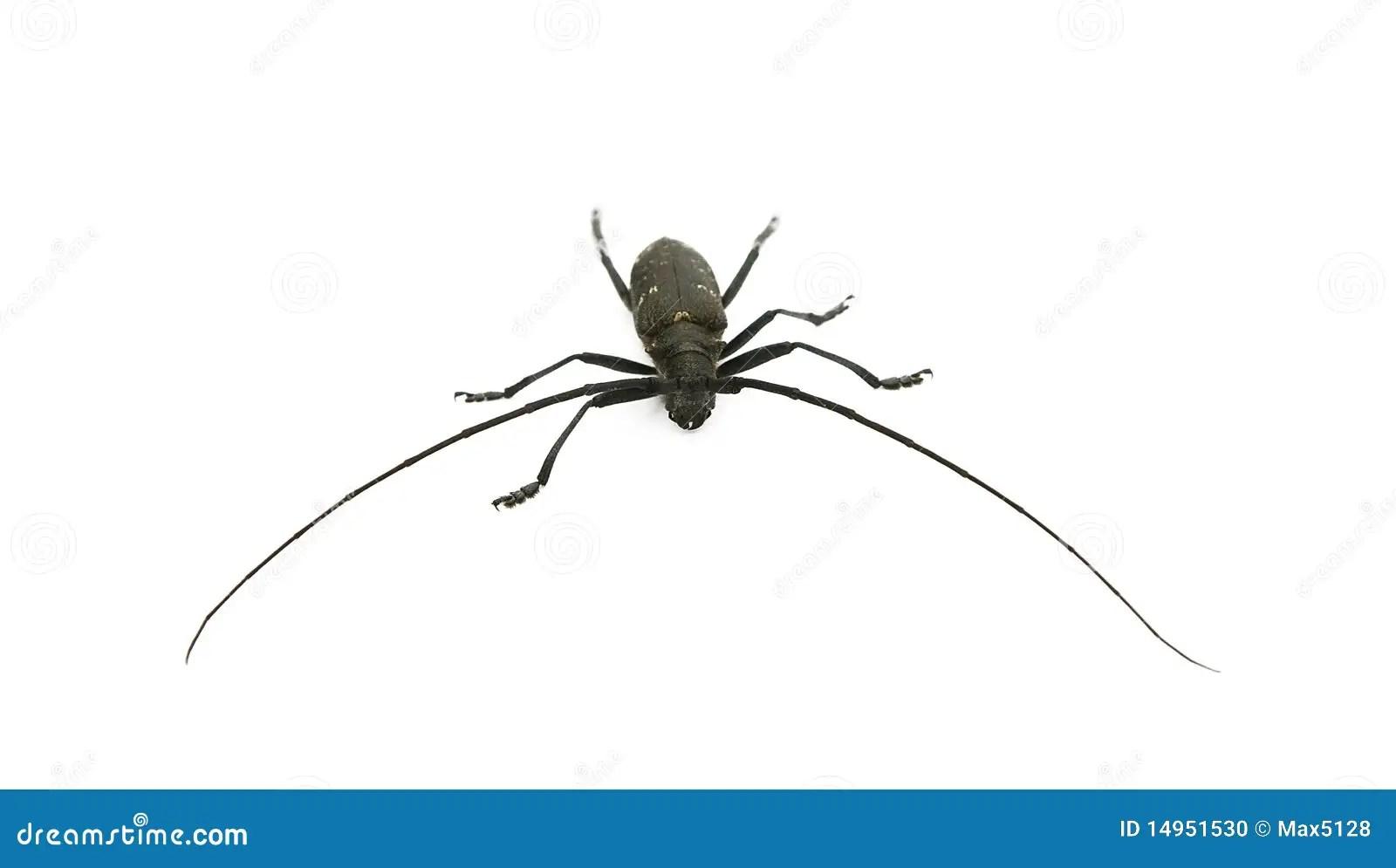 Capricorn Beetle Stock Photo Image Of Foot Curve