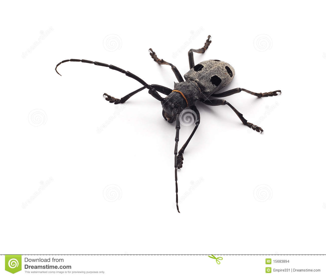 Capricorn Beetle Isolated Stock Images