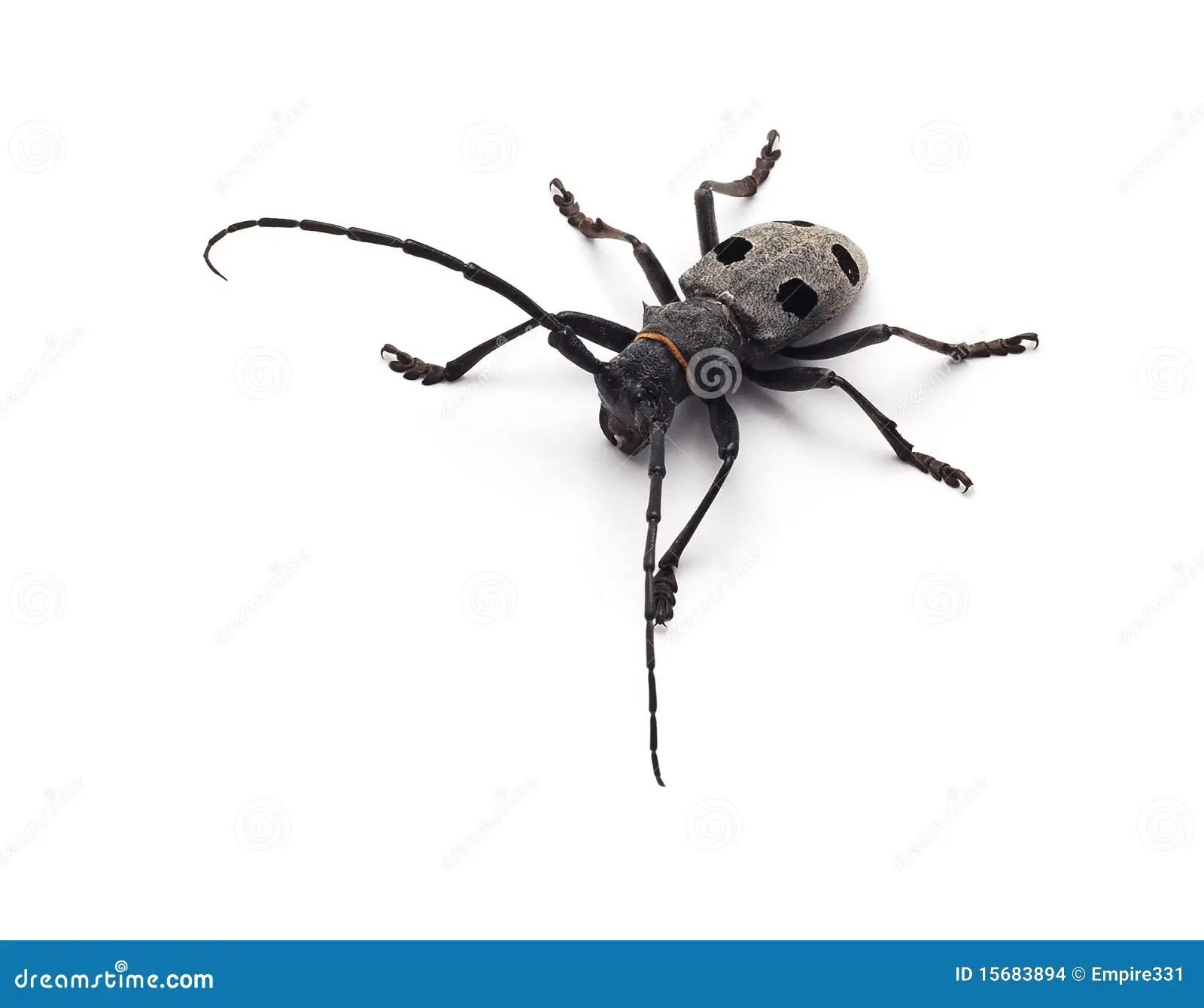 Capricorn Beetle Isolated Stock Photo Image Of Small