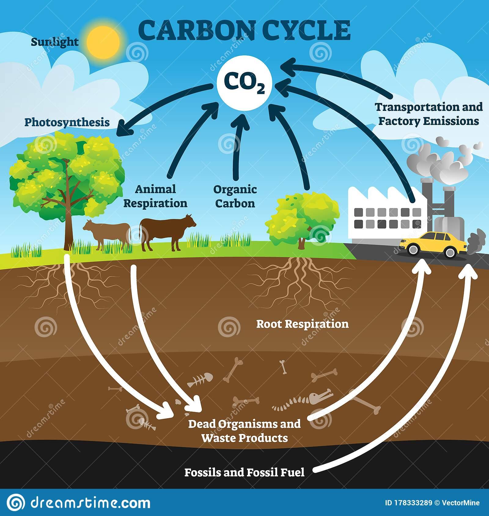 Carbon Cycle Vector Illustration Labeled Co2