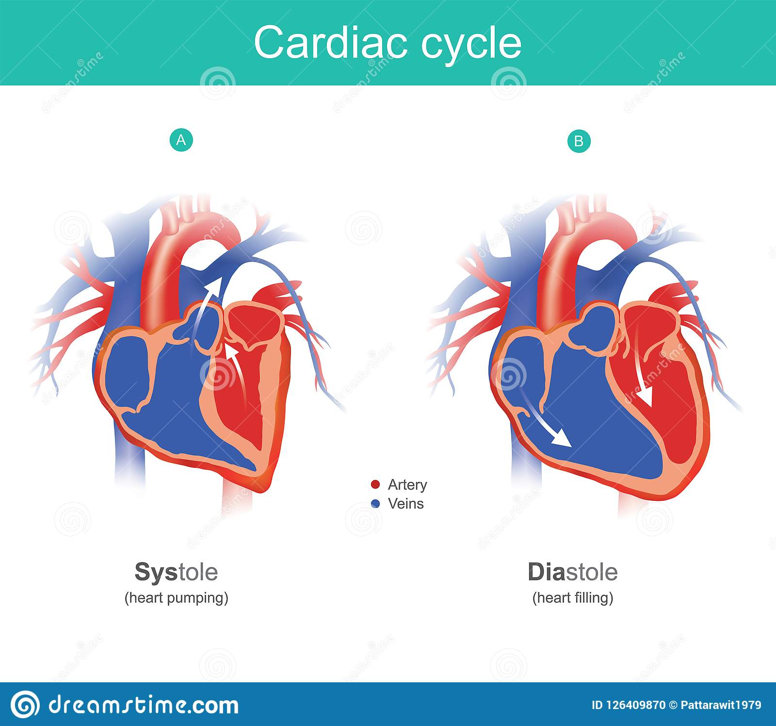Cardiac Cycle Infographic The Heart Is The Organ Of The