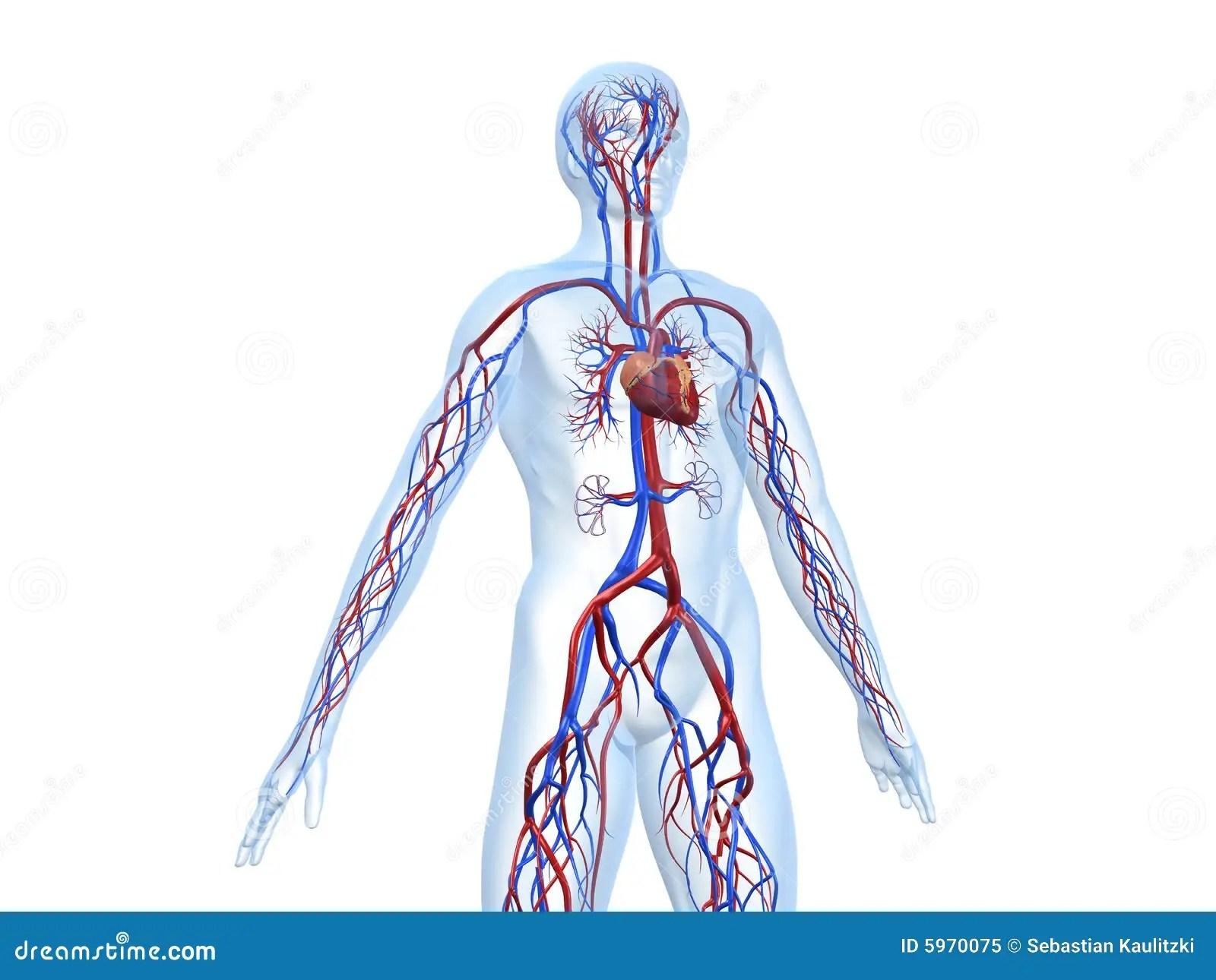 Cardiovascular System Stock Illustration Illustration Of