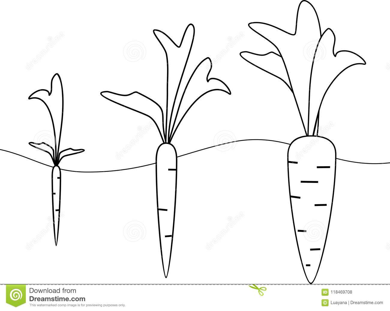 Carrot Growth Stages Stock Vector Illustration Of Grow