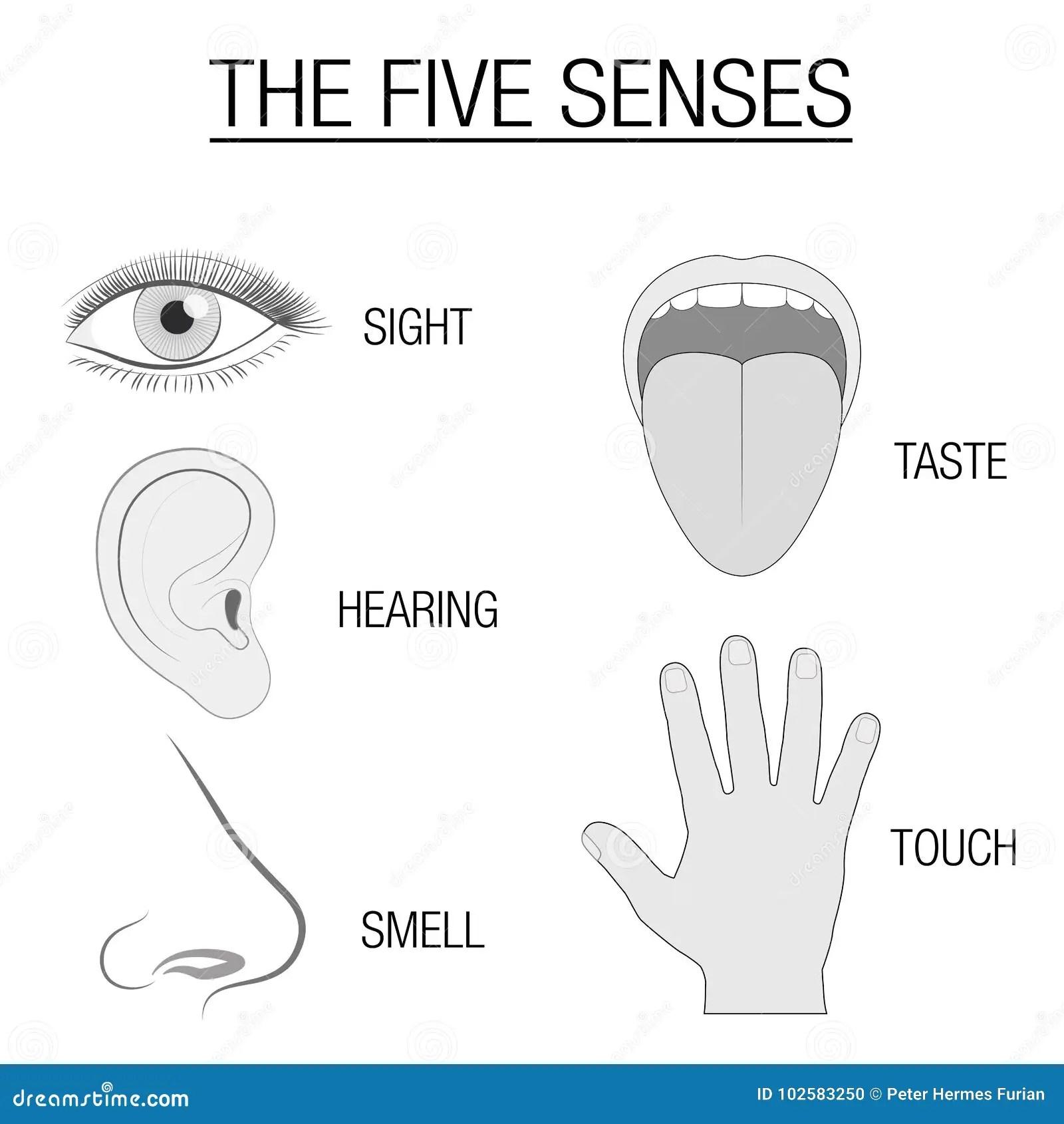 Carta Sensorial De Cinco Organos De Los Sentidos Ilustracion Del Vector