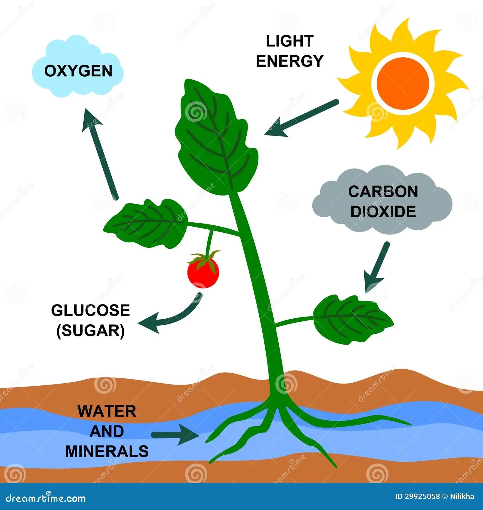 Photosynthesis Stock Illustration Illustration Of Light