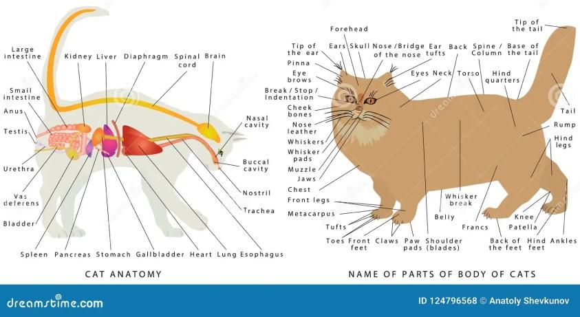 Cat anatomy. stock vector. Illustration of disease, heart ...