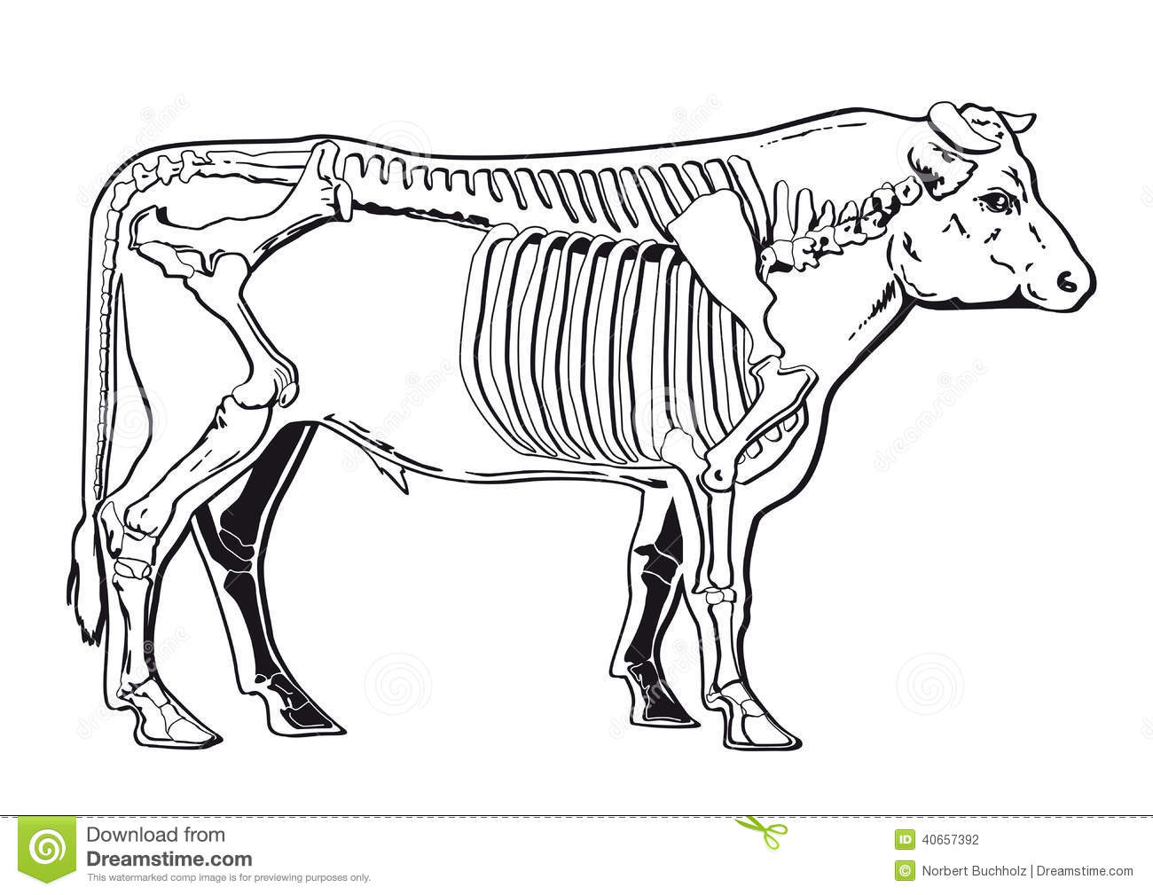 Cattle Skeleton Stock Vector Illustration Of Bovine
