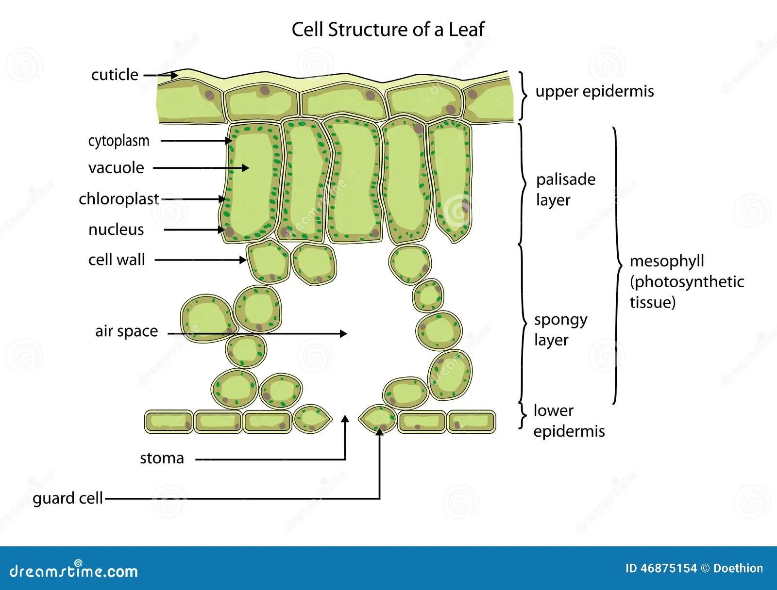 Celstructuur Van Een Blad Vector Illustratie Afbeelding