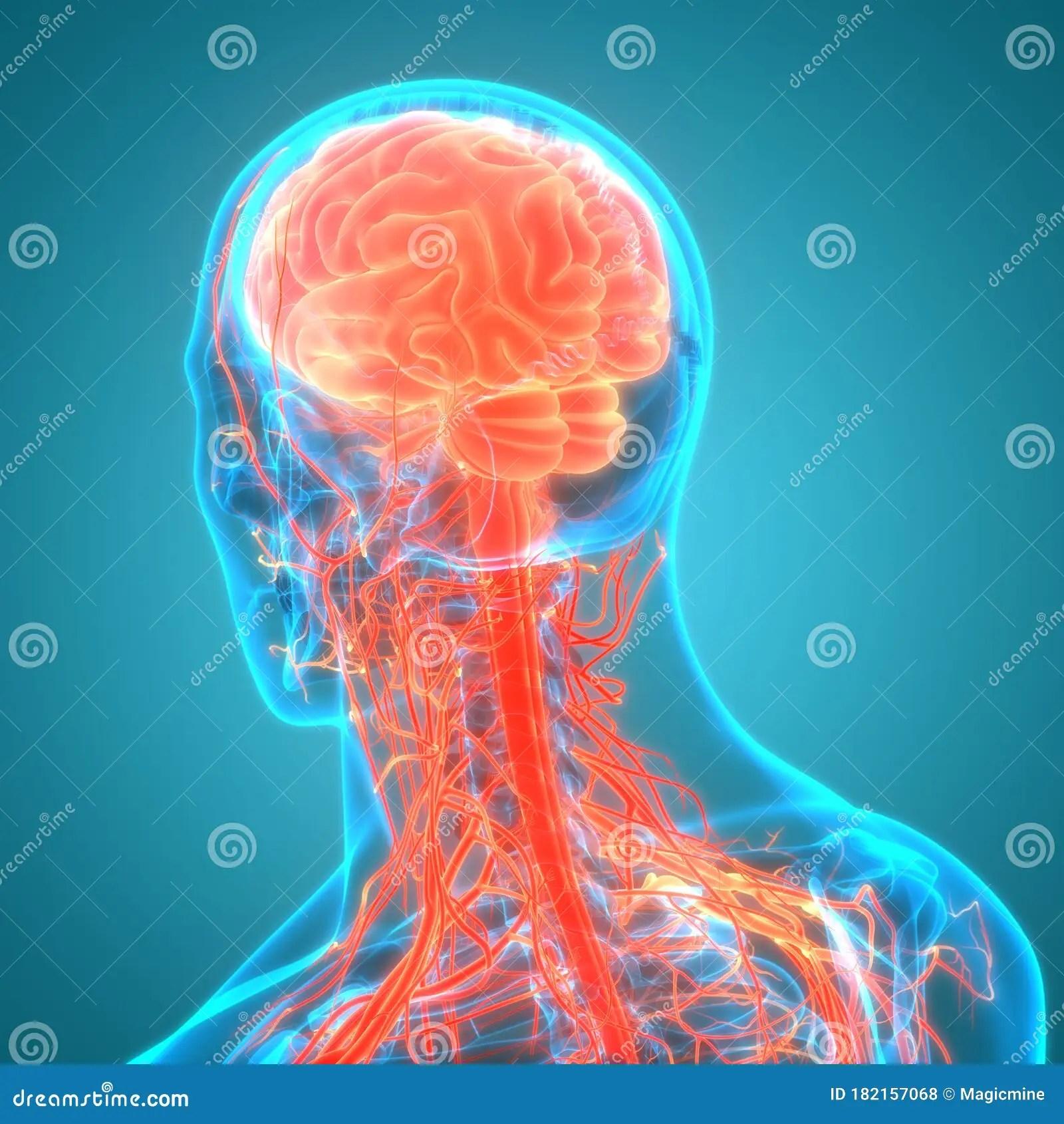 Central Organ Of Human Nervous System Brain Anatomy Stock