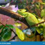 Chameleon Green In A Terrarium Stock Image Image Of Reptiles Eyes 183871379
