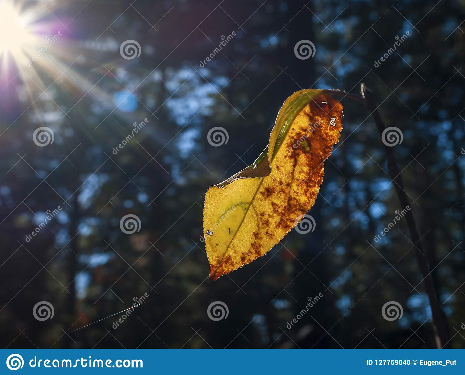 Change Of Seasons Single Yellow And Red Leaf On A Branch