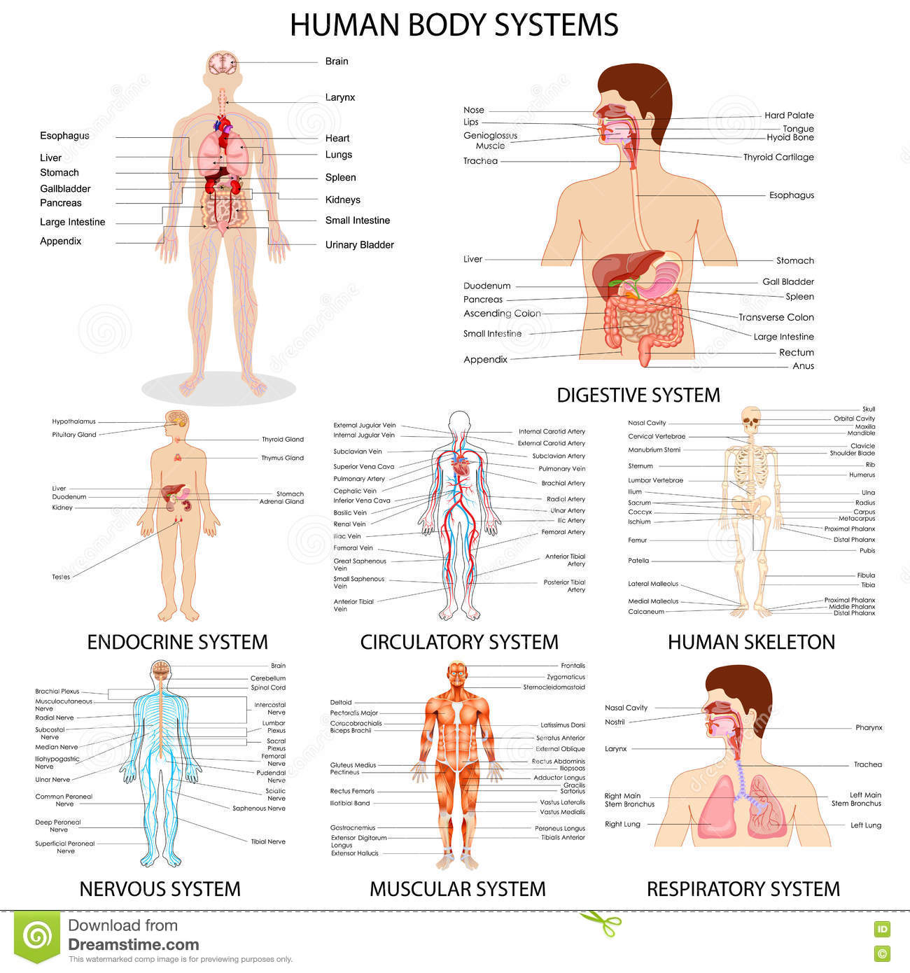 Body Systems Work Together Worksheet