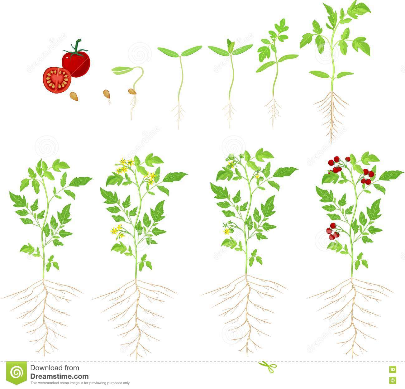 Cherry Tomato Growing Stage Stock Vector