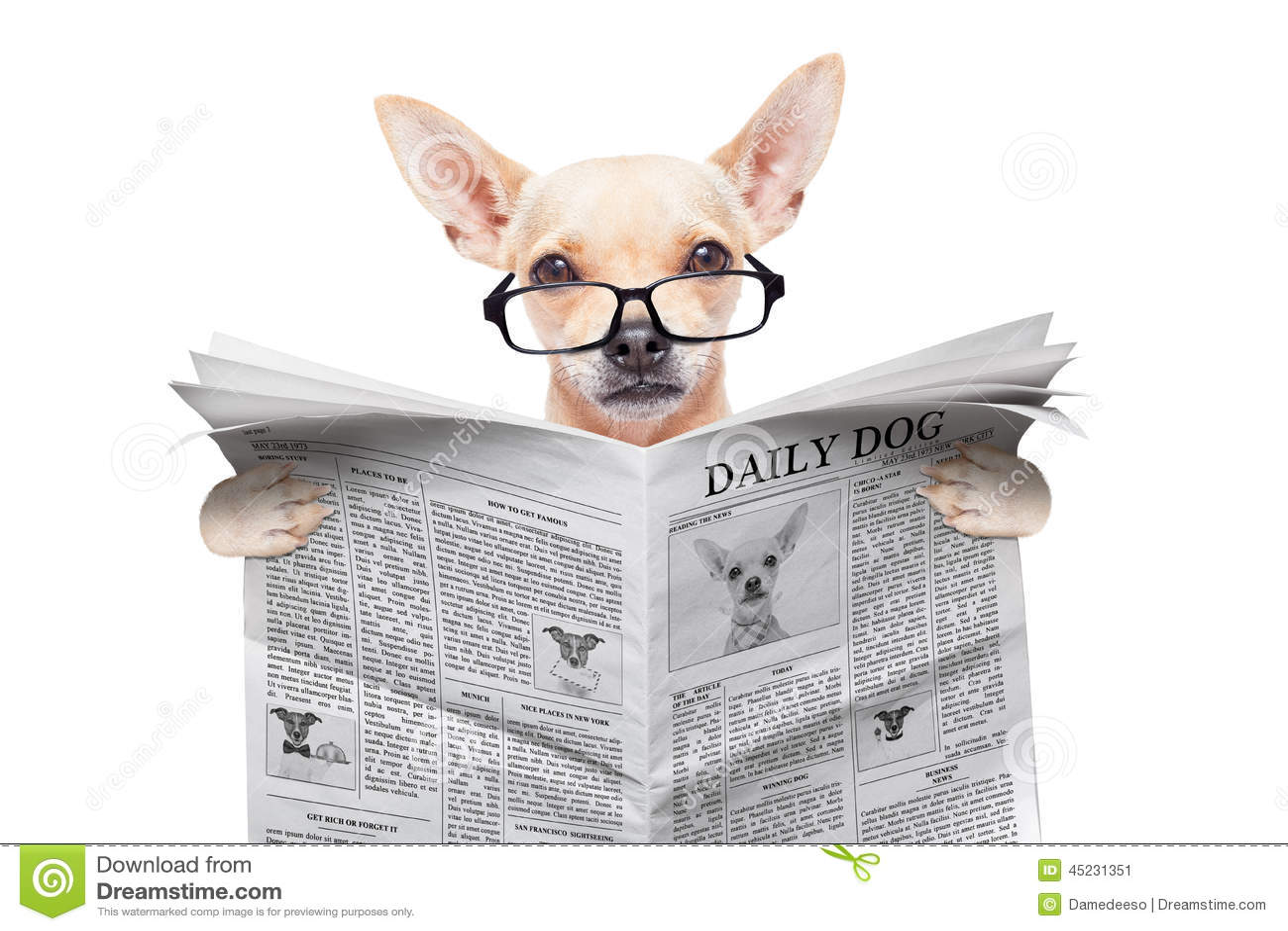 Chihuahua Newspaper Dog Stock Photo Image 45231351