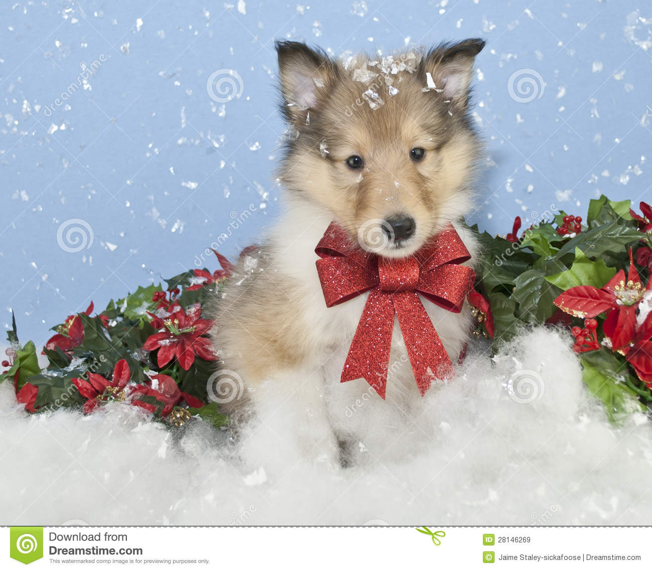 Christmas Collie Puppy Royalty Free Stock Images Image