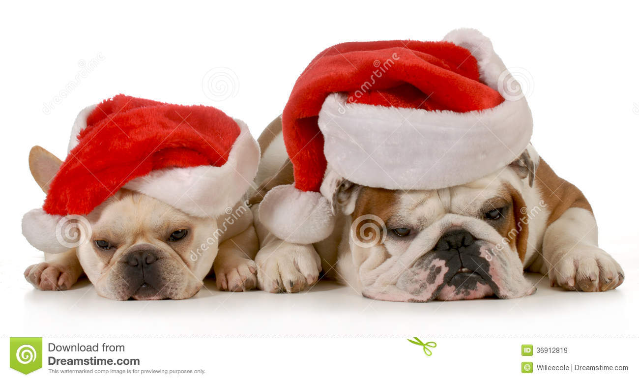 Christmas Dogs Stock Image Image Of Bulldog Domestic