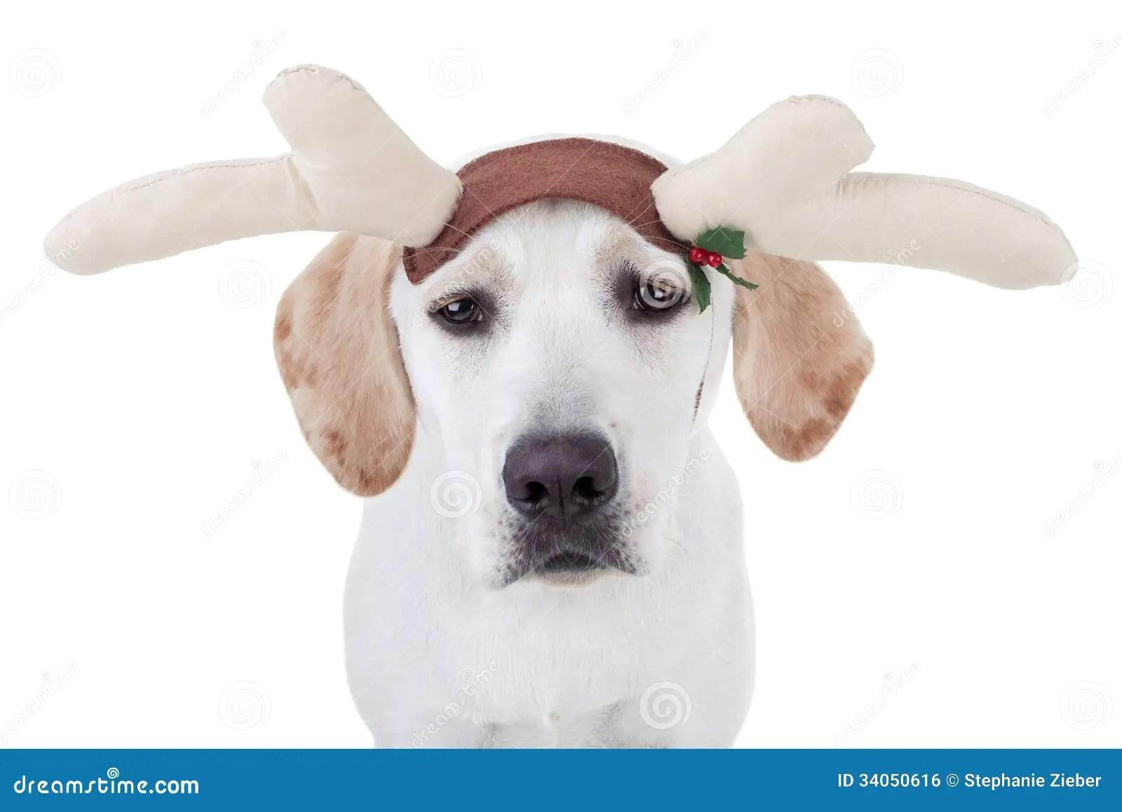 Christmas Reindeer Dog Stock Photo Image Of Background