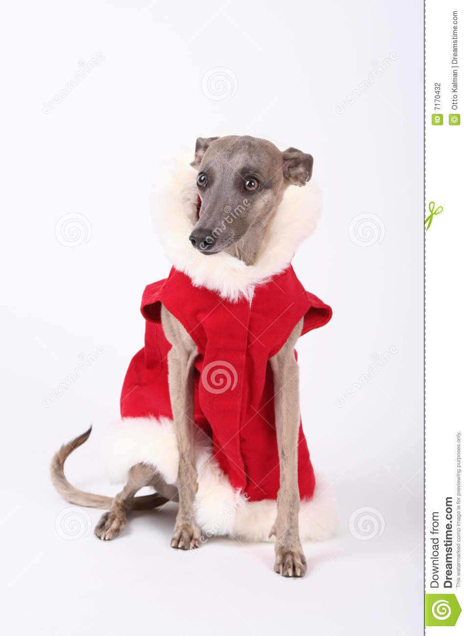 Christmas Whippet Stock Photo Image Of Wise Puppy Smart