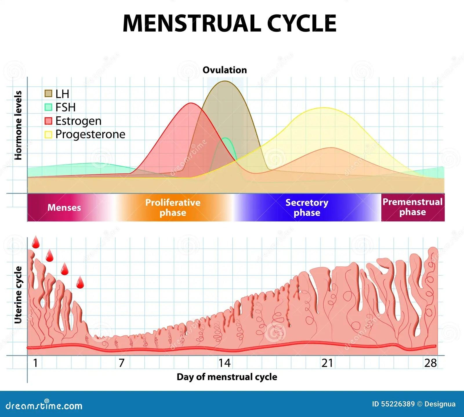 Ciclo Menstrual Endometrio Y Hormona Ilustracion Del