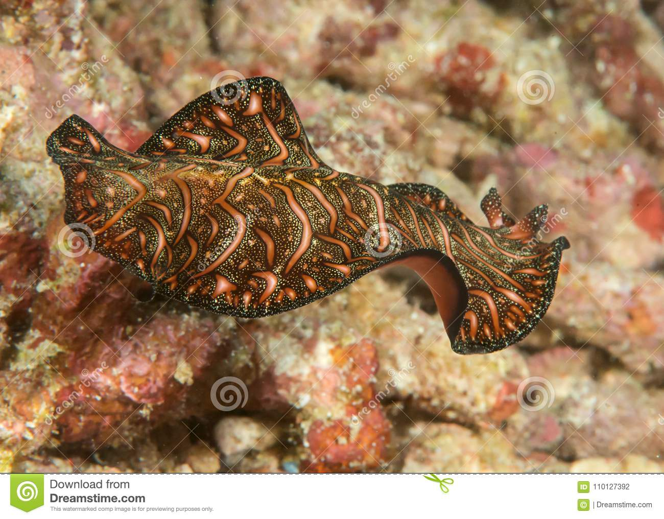 Closeup Of A Persian Carpet Flatworm Swimming Over Coral
