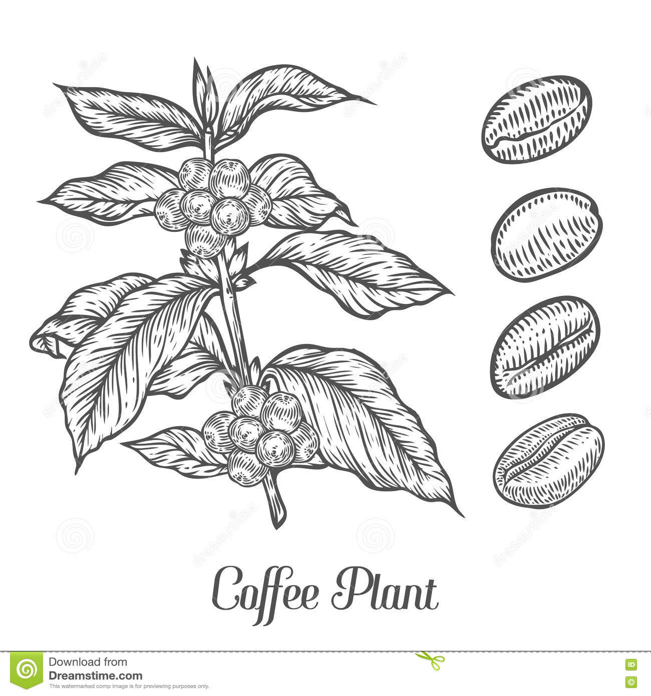 Coffee Plant Branch With Leaf Berry Coffee Bean Fruit