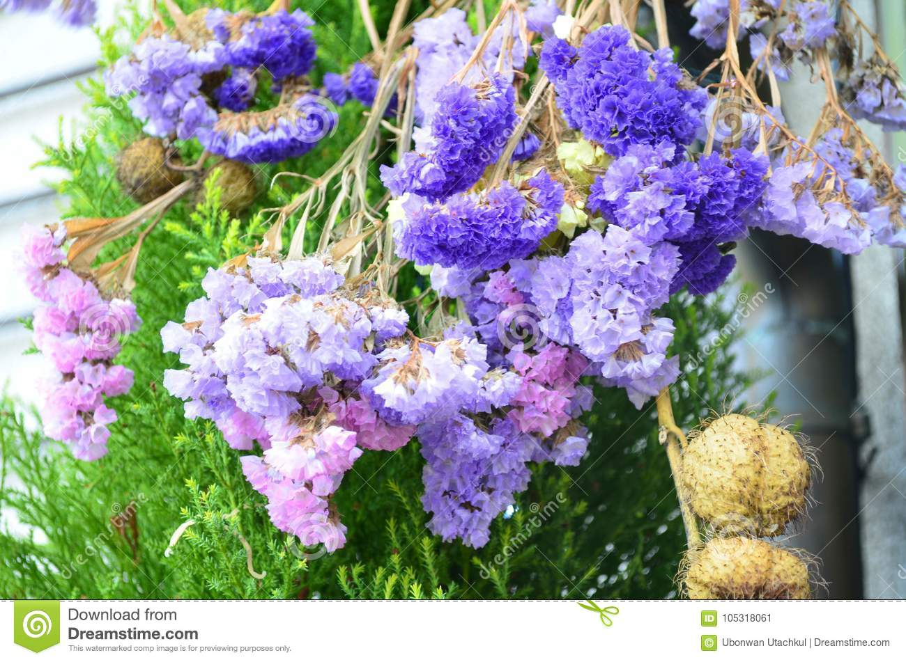 Colorful Statice Flowers Also Known As Limonium Or Sea Lavender     Download Colorful Statice Flowers Also Known As Limonium Or Sea Lavender  Stock Image   Image of