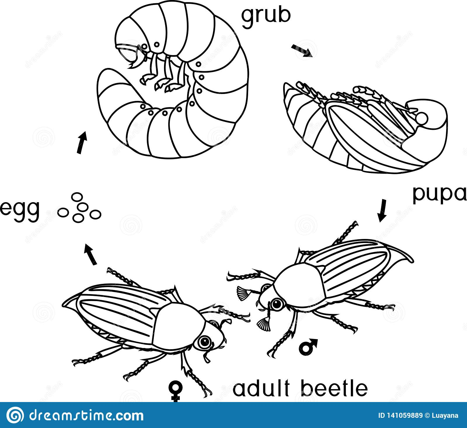 Coloring Page With Life Cycle Of Cockchafer Sequence Of