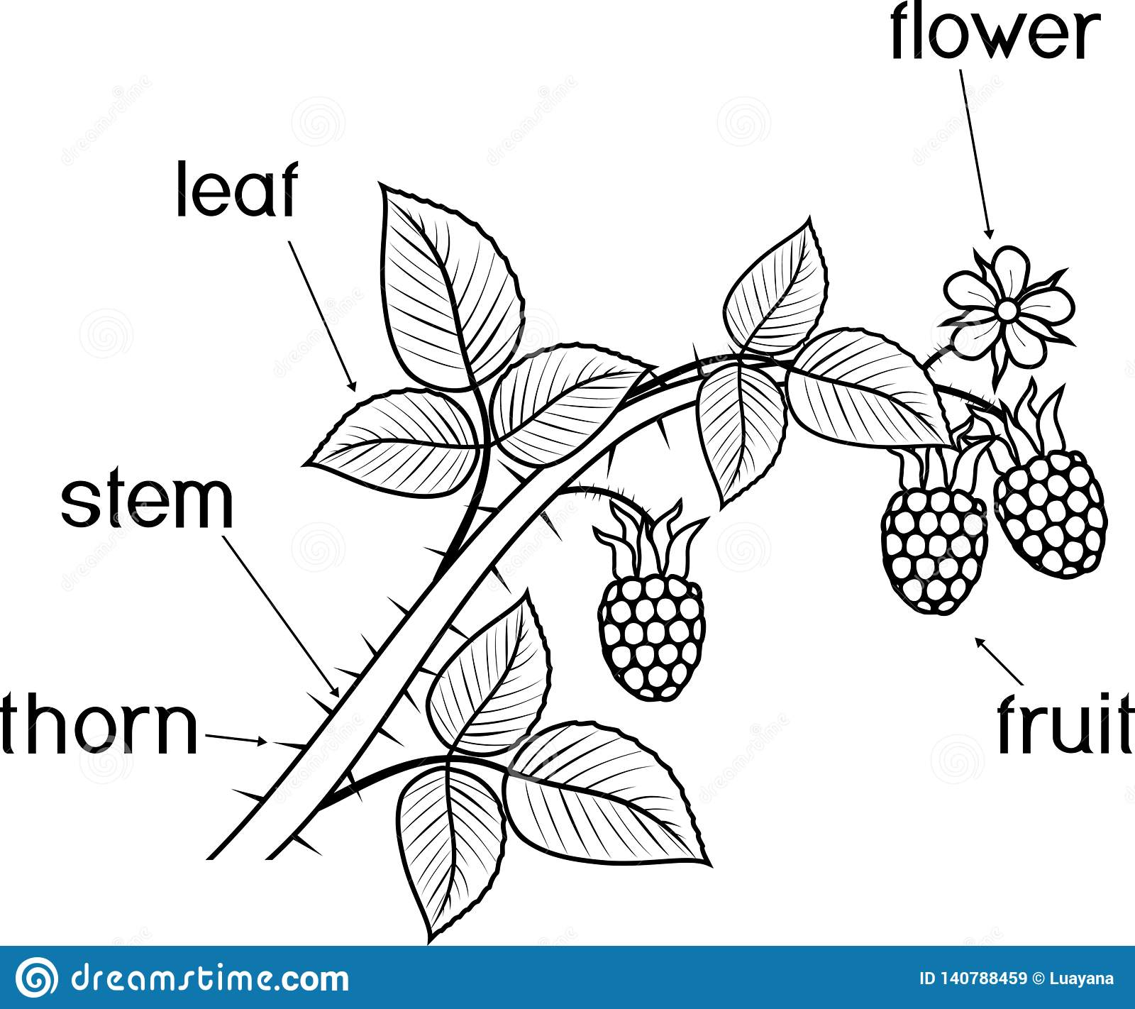 Coloring Page Parts Of Plant Morphology Of Raspberry