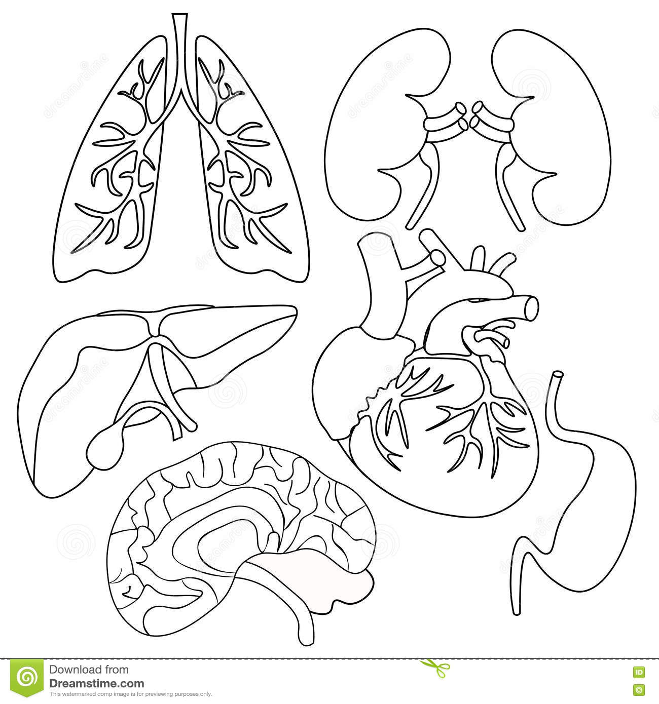 Coloring Set Of Organs Of The Human Heart Lungs Liver Kidneys Stock Vector
